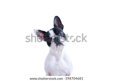 Portrait of black and white French bulldog looking at camera against of white background. Isolated. Copy space area available - stock photo
