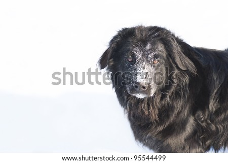 Portrait of black female dog, hovawart, in winter