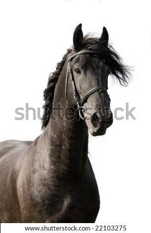 Portrait of black friesian stallion isolated on white background - stock photo
