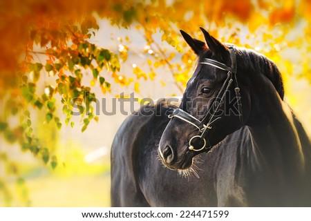 Portrait of black horse in autumn - stock photo
