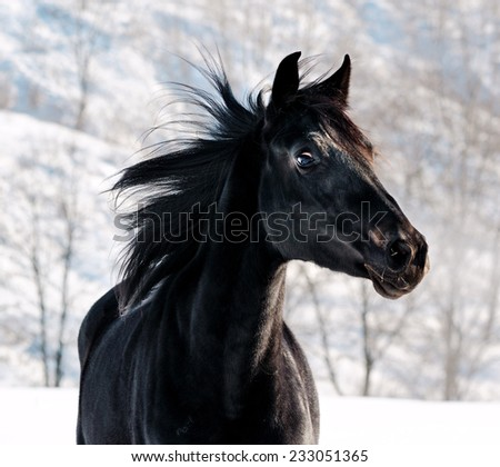 Portrait of black horse in winter filed - stock photo
