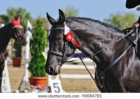 Portrait of black horse - winner of jumping show - stock photo
