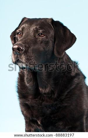Portrait of black labrador isolated on light blue background - stock photo