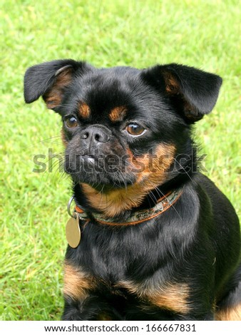Portrait of black Petit Brabancon dog - stock photo