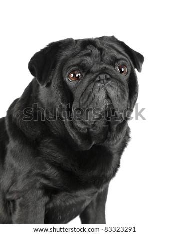 Portrait of black pug isolated on white background - stock photo