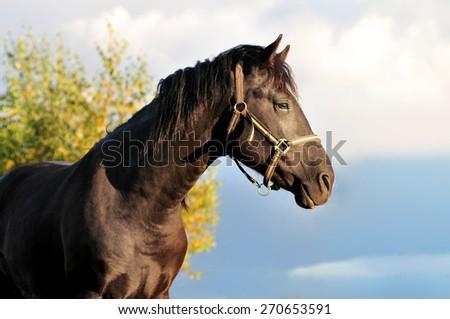 Portrait of black rural horse in autumn landscape at sunset - stock photo