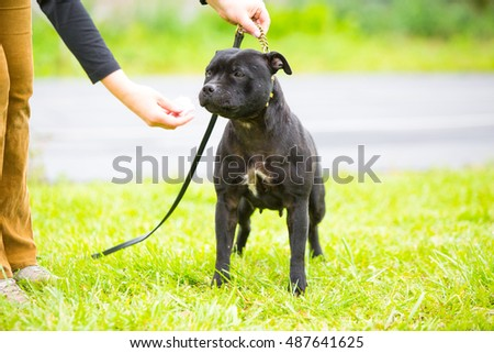 Portrait of black staffordshire terrier puppy