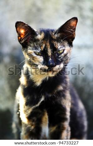 Portrait of black tiger pattern cat. - stock photo