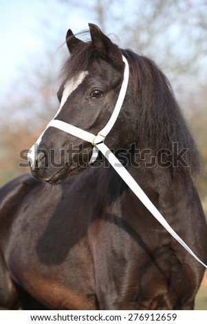 Portrait of black welsh mountain pony with halter - stock photo