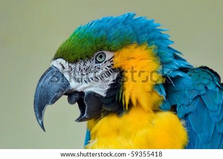 Portrait of blue and yellow macaw (ara araruna) - stock photo
