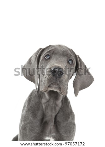 portrait of blue great dane puppy, puppy - stock photo