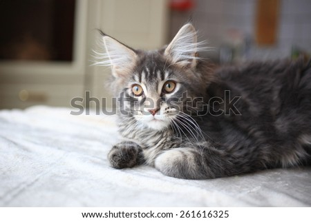 Portrait of blue tabby color Maine coon kitten - stock photo