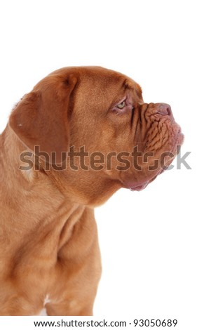 portrait of bordeaux dog in profile isolated