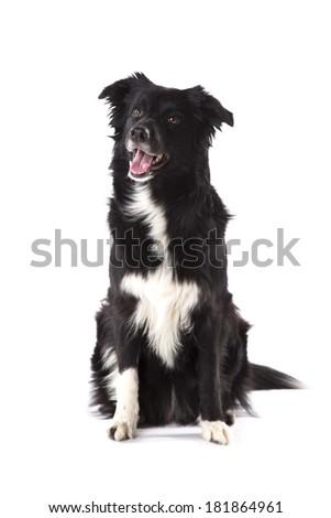 Portrait of border collie - stock photo