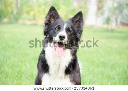 Portrait of border collie dog in the garden - stock photo