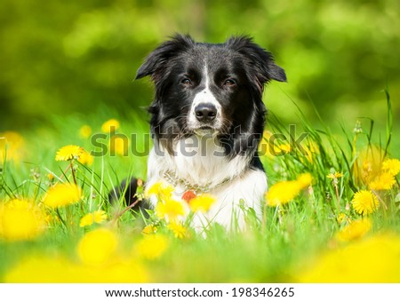 Portrait of border collie lying on the field with dandelions - stock photo