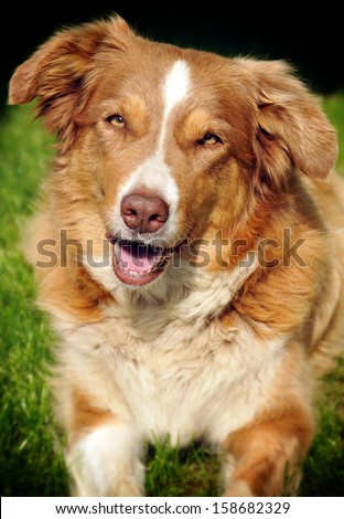 Portrait of border collie on a grass