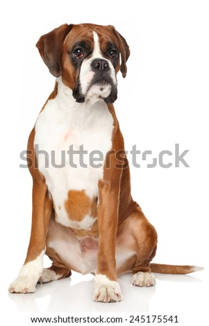 Portrait of Boxer dog on a white background - stock photo