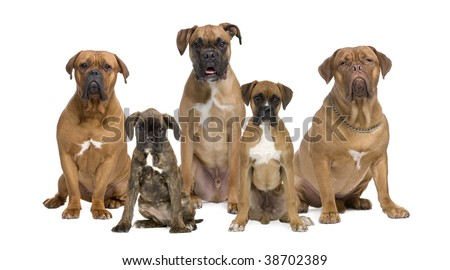 Portrait of boxer dogs sitting in front of white background, studio shot - stock photo