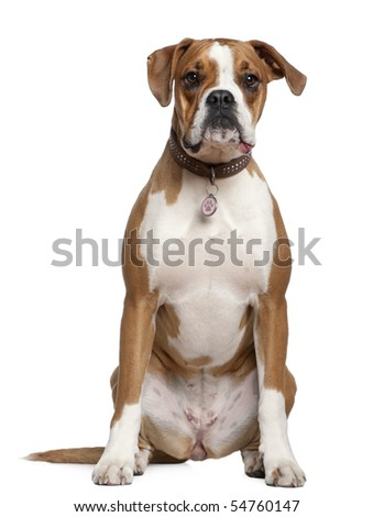 Portrait of Boxer, 14 years old, sitting in front of white background - stock photo