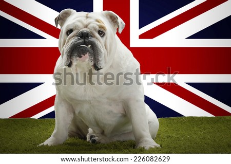 Portrait of British Bulldog sitting in front of Union Jack - stock photo