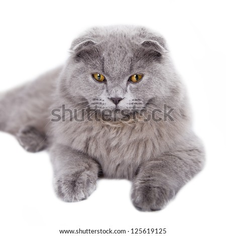 Portrait of British cat on a white background