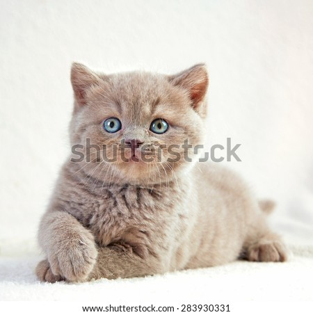 portrait of british short hair kitten, 5 weeks old