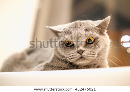 Portrait of British Shorthair cat on a white windowsill - stock photo