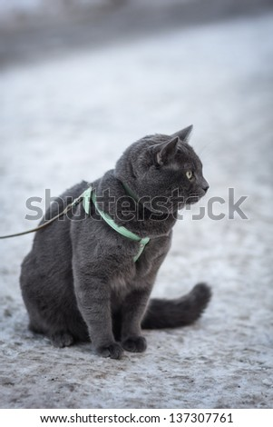 portrait of british shorthair cat outdoor, in harness selective focus - stock photo