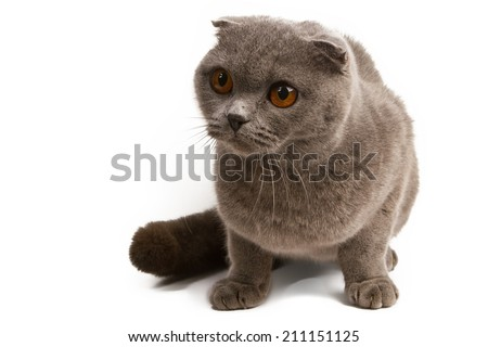 Portrait of British Shorthair cat,  sitting in front of white background