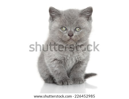 Portrait of British shorthair kitten sits over white background