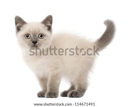 Portrait of British Shorthair Kitten, 10 weeks old, against white background - stock photo