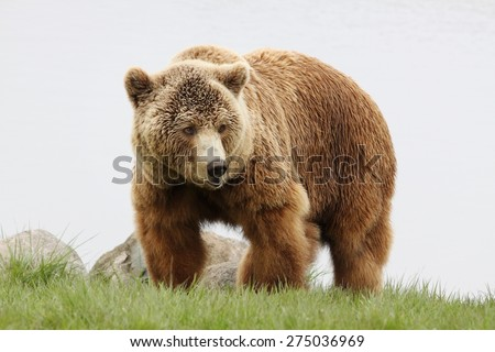 Portrait of brown bear - stock photo