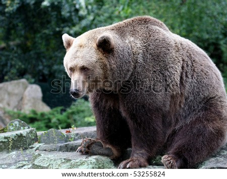 Portrait of brown bear in countryside.