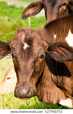 Portrait of brown cows in green countryside field.