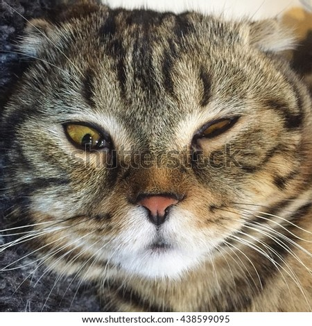 Portrait of brown-eyed cat Face, Scottish fold Cat Close up. - stock photo