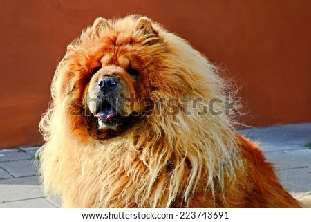 Portrait of brown friendly chow-chow dog. Lithuania.