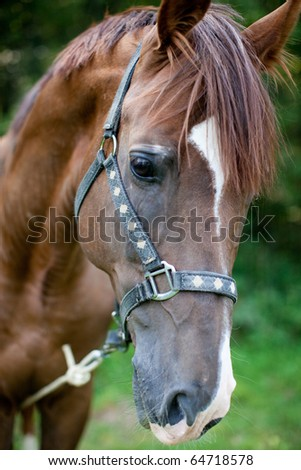 Portrait of brown horse - stock photo