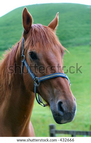 Portrait of brown horse in field - stock photo
