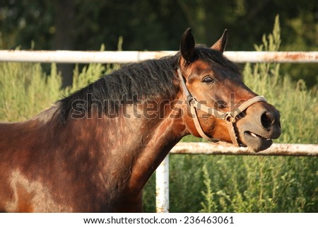 Portrait of brown horse neighing in summer - stock photo