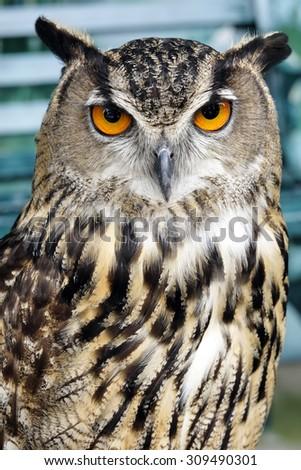 Portrait of brown owl - stock photo