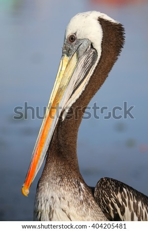 Portrait of Brown Pelican (Pelecanus occidentalis) in Paracas Bay, Peru. Paracas Bay is well known for its abundant wildlife. - stock photo