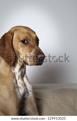 Portrait of brown Vizsla / Dalmatian Mix - stock photo