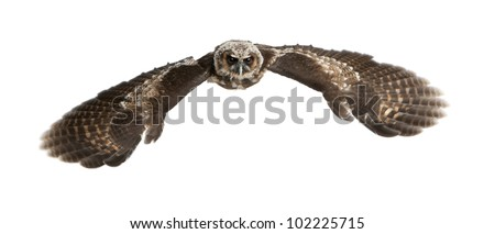 Portrait of Brown Wood Owl, Strix leptogrammica, flying in front of white background, six months old - stock photo