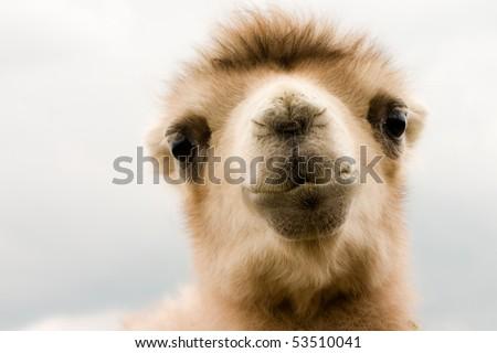 Portrait of camel baby - stock photo