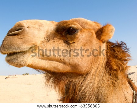 Portrait of Camel, close-up, against the background of the desert. - stock photo