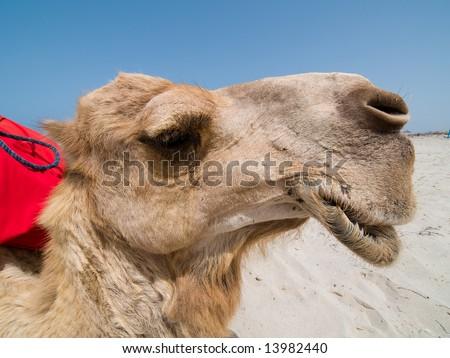 Portrait of Camel in Tunisia - stock photo
