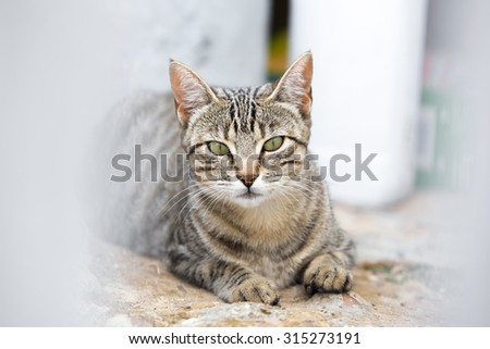 portrait of cat looking at cam with ears raised on stalking interesting attitude / tabby cat looking when lying and lurking - stock photo