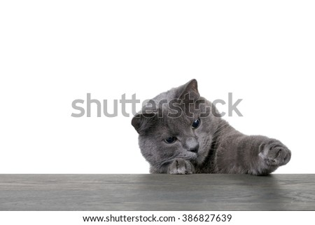 Portrait of cat on blue wooden board with white copyspace - stock photo