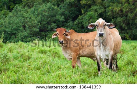 Portrait of cattle in a green pasture in Queensland, Australia. - stock photo